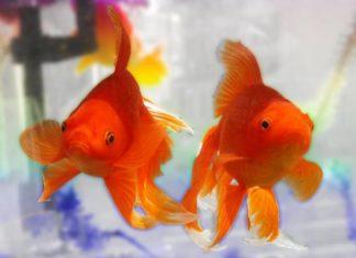 Рибки виживають завдяки алкоголю
